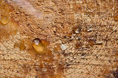 Resin on cut pine tree. Macro royalty free stock photography
