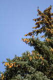 Resin drips from pine cones and glistening in the sun on the background of pine branches and blue sky. Moscow. Russia. Royalty Free Stock Photos
