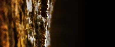 Resin drops of amber from pine tree trunk eating copy space for text or logo royalty free stock photo