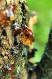 Resin drops  on a tree with sunlight Stock Photos