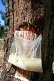 Resin extraction of Portuguese pine tree Stock Photos