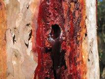 Resin Extrusion Of Eucalyptus Tree Stock Photos