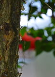 Resin flow on tree in garden Royalty Free Stock Images