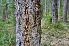 Resin of Larch Royalty Free Stock Photography