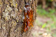 Resin from an old cherry tree. Plants secrete resins and rosins for their protective benefits in response to injury. The resin protects the plant from insects stock photos