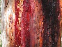 Resin On Eucalyptus Tree Bark Royalty Free Stock Photos