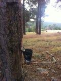 Resin pine Royalty Free Stock Photo