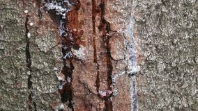 Resin on pine trunk, horizontal shot. Stripped bark on the trunk of a pine. The tree heals the wound, releasing resin. stock video footage