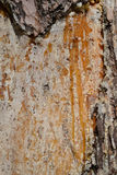 Resin on pine trunk. Royalty Free Stock Photo