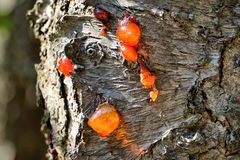 Resin spilling from tree Royalty Free Stock Photography