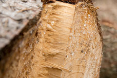 Resin on spruce wood Stock Photo