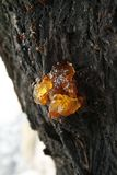 Resin on the tree. Sunlight  on the resin's drop Stock Image