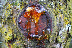 resin on the tree royalty free stock photo