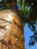 Resin on a tree trunk Stock Image