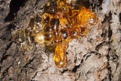 Resina ambarina natural da árvore Fotografia de Stock Royalty Free