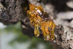 Resina ambarina natural da árvore Imagens de Stock Royalty Free