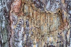 Resina del pino Fotos de archivo