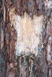Resina del pino Imagen de archivo