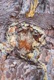 Resina del pino Foto de archivo libre de regalías