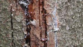 Resina en el tronco del pino, tiro horizontal Corteza pelada en el tronco de un pino El árbol cura la herida, lanzando la resina almacen de metraje de vídeo