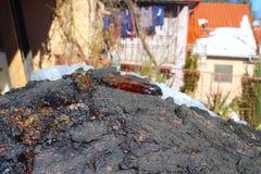 Resina na árvore do abricó na neve foto de stock royalty free