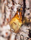 Resina na árvore fim fotografia de stock