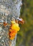Resina que exuda de árbol Imágenes de archivo libres de regalías