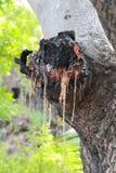 Resina su un tronco di albero Fotografia Stock Libera da Diritti