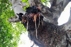 Resina su un tronco di albero Immagine Stock