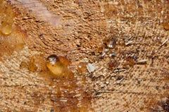 Resina sul pino tagliato fotografia stock libera da diritti