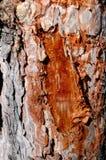Resina trasparente del pino Fotografia Stock