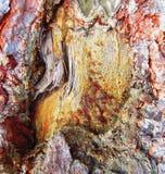 resina Zhivitsa-congelada del pino El pino cura sus heridas con la resina congelada Fotos de archivo libres de regalías