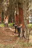 Resine extraction in a pine plantation in Galicia, Spain. stock images