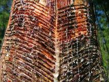 Resine s'est rassemblé de l'arbre de pin Image stock