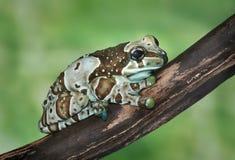 Resinifictrix de Trachycephalus (grenouille de harlequin) image stock