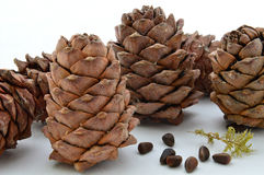Resinous cedar cones on a light background. Resinous pine cones on a light background. Closeup. Christmas. Festive Royalty Free Stock Photos