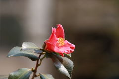 Resistant to winter flowers. Winter, for the Shandong camellia call, Qingdao Laoshan Shangqing Palace Millennium ancient tree, also known as Jiang snow, winter Stock Photo