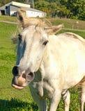 Resoplido del caballo Fotos de archivo libres de regalías