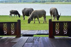 Resort balcony and buffalo herd eat green grass. Beside the wide lake royalty free stock images