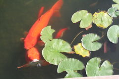 Resort Koi Pond Royalty Free Stock Images