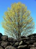 Resorte: árbol de arce de florecimiento con la pared de piedra Foto de archivo