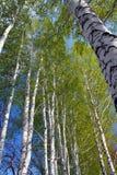Resorte en maderas del árbol de abedul Imagen de archivo