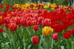 Resorte hermoso Tulipanes coloridos Fondo floral Fotografía de archivo libre de regalías