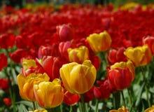 Resorte hermoso Tulipanes coloridos Fondo floral fotografía de archivo