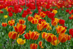Resorte hermoso Tulipanes coloridos Fondo floral fotos de archivo
