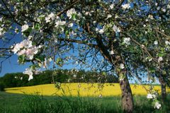Resorte - manzano En la floración Imagen de archivo