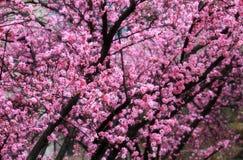 Resorte rosado Imagenes de archivo