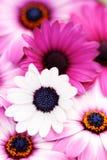 Resorte rosado Imagen de archivo libre de regalías