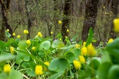 Resorte temprano Amarillee brillantemente las primeras flores y la hierba verde deliciosa foto de archivo