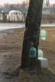 Resorte temprano Colección de savia del abedul en los tarros de cristal Foto de archivo